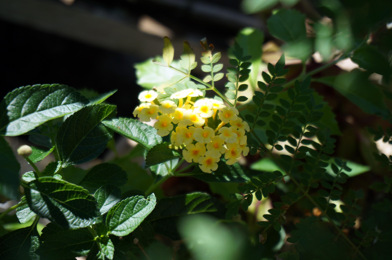 ランタナ 黄色 2015.7.22