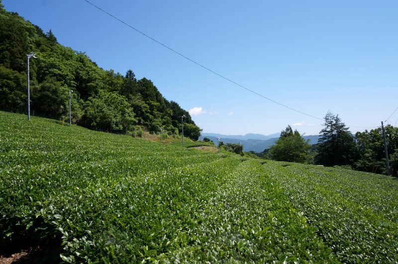 ゲート横の茶畑