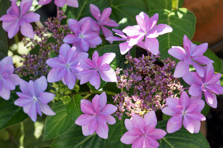 紫陽花の挿し木方法