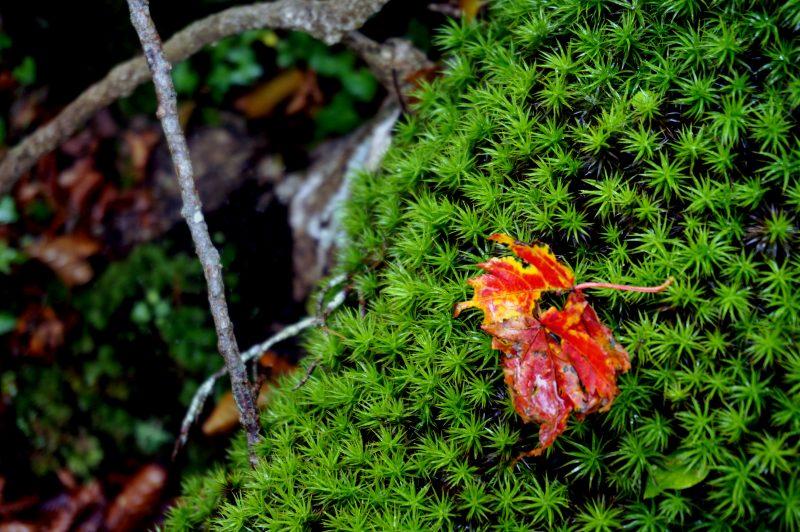 スギゴケと落ち葉