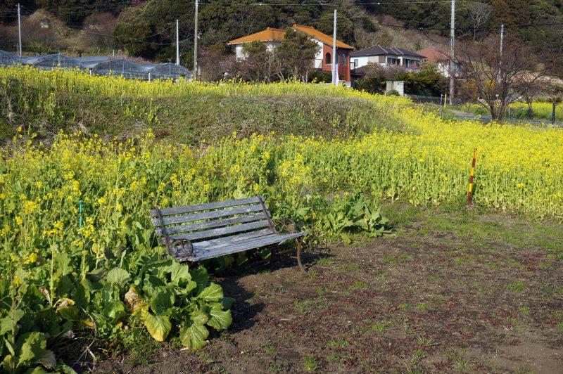 菜の花の前のベンチ