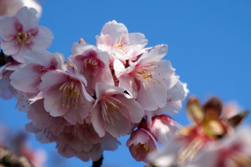 抱湖園 坂の桜②