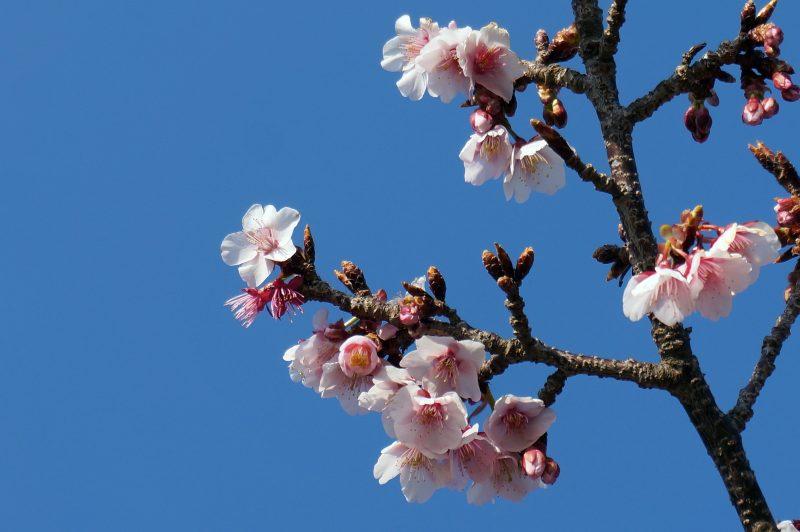 抱湖園 坂の桜①